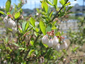 Flower of Blueberry